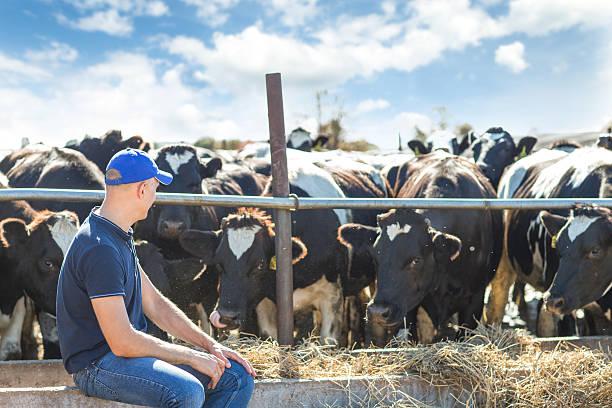 Hombre trabajando con granja de vacas lecheras aparece granja - foto de stock