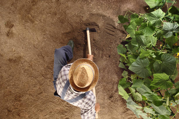 man farmer working with hoe in vegetable garden, hoeing the soil near a cucumber plant, top view and copy space template man farmer working with hoe in vegetable garden, hoeing the soil near a cucumber plant, top view and copy space template garden hoe stock pictures, royalty-free photos & images