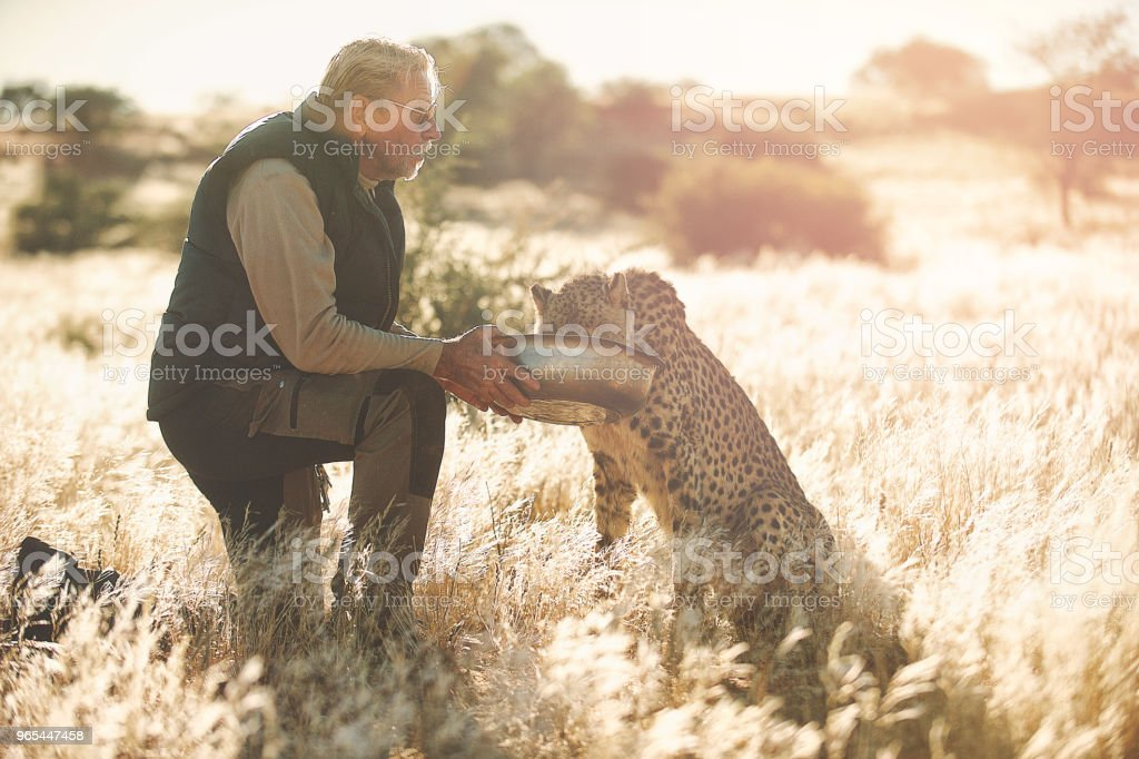 Man feeding and touching a Cheetah in the morning royalty-free stock photo