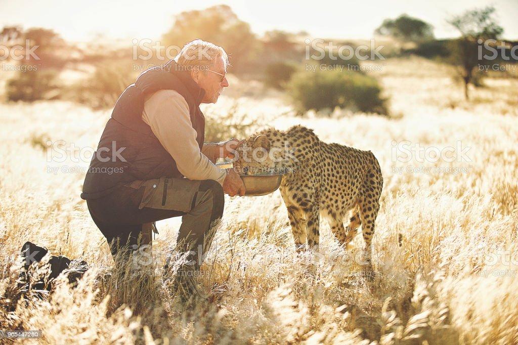 男子餵養和觸摸的獵豹看著遠離 - 免版稅一個人圖庫照片