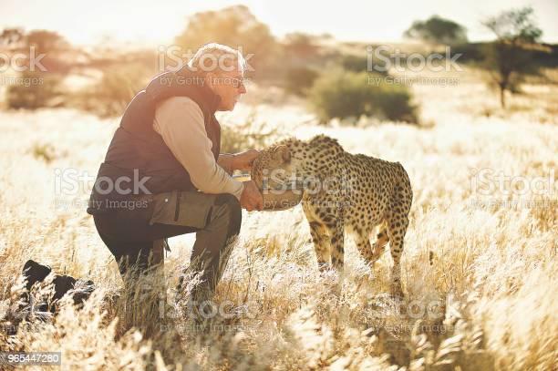 Foto de Homem Alimentando E Tocando Um Guepardo Olhando Para Longe e mais fotos de stock de Acariciar