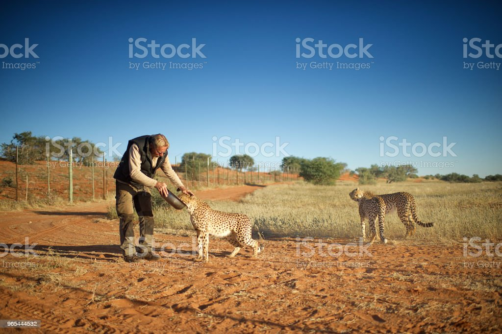 Man feeding and touching Cheetahs royalty-free stock photo