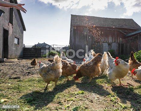 Man feeding hens on the farm. Poultry yard