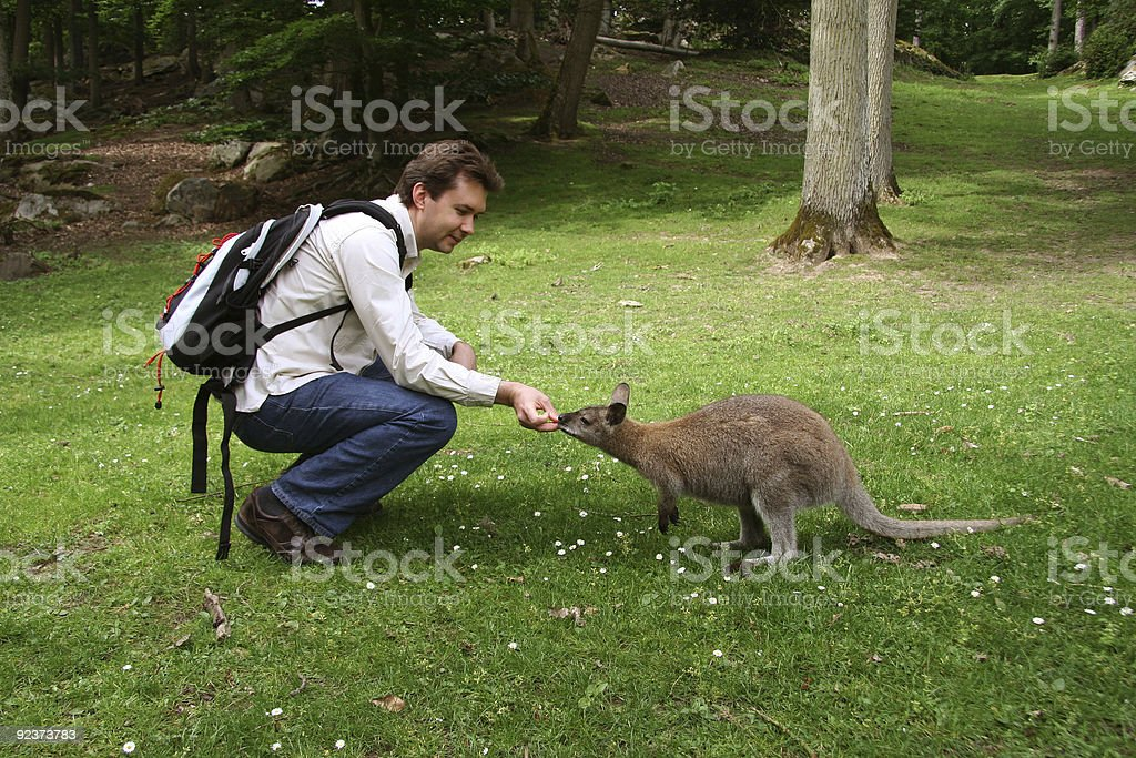 Man feeding small kangaroo in the forest royalty-free stock photo