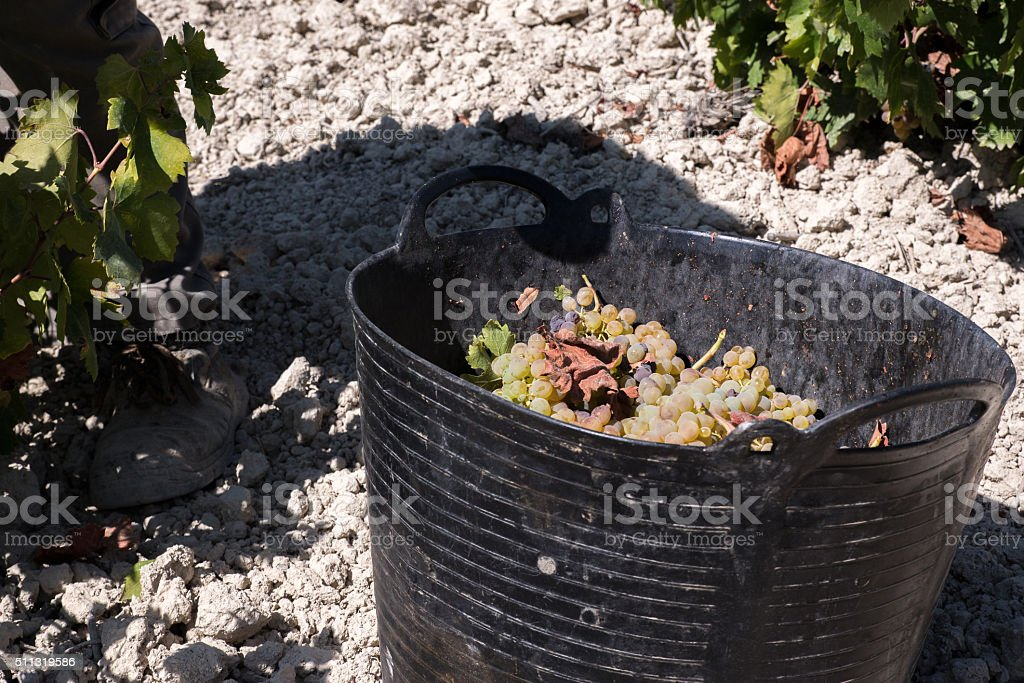 man filling a bucket of grapes stock photo