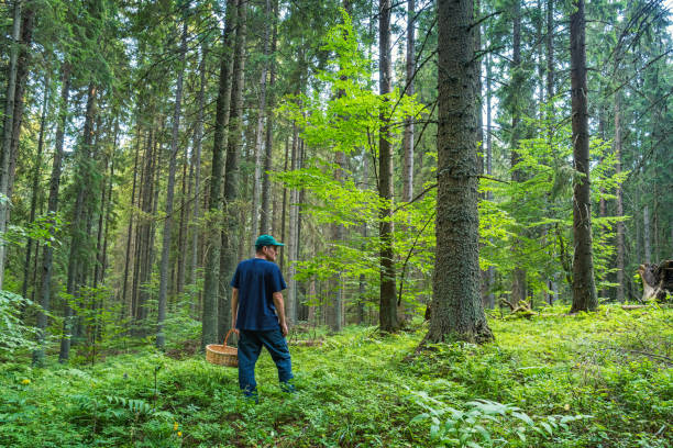 Man foraging in forest Stock photograph of an adult Caucasian man foraging for fruits and mushrooms in a forest. foraging stock pictures, royalty-free photos & images