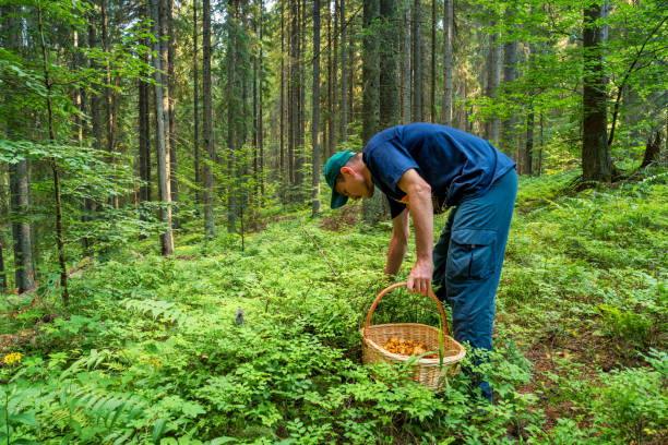 Man foraging mushrooms in forest Stock photograph of an adult Caucasian man foraging mushrooms in a forest. foraging stock pictures, royalty-free photos & images