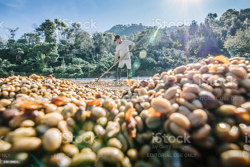 Man from Thailand drying coffee beans. stock photo