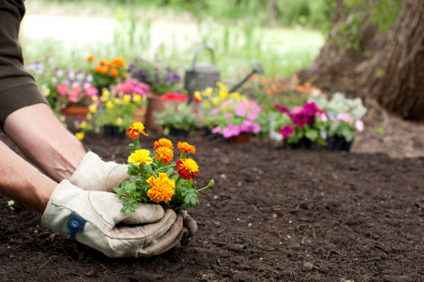 Man Gardening Background Man gardening holding Marigold flowers in his hands with copy space gardening stock pictures, royalty-free photos & images