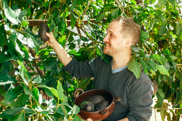 Man getting the crop of avocado stock photo