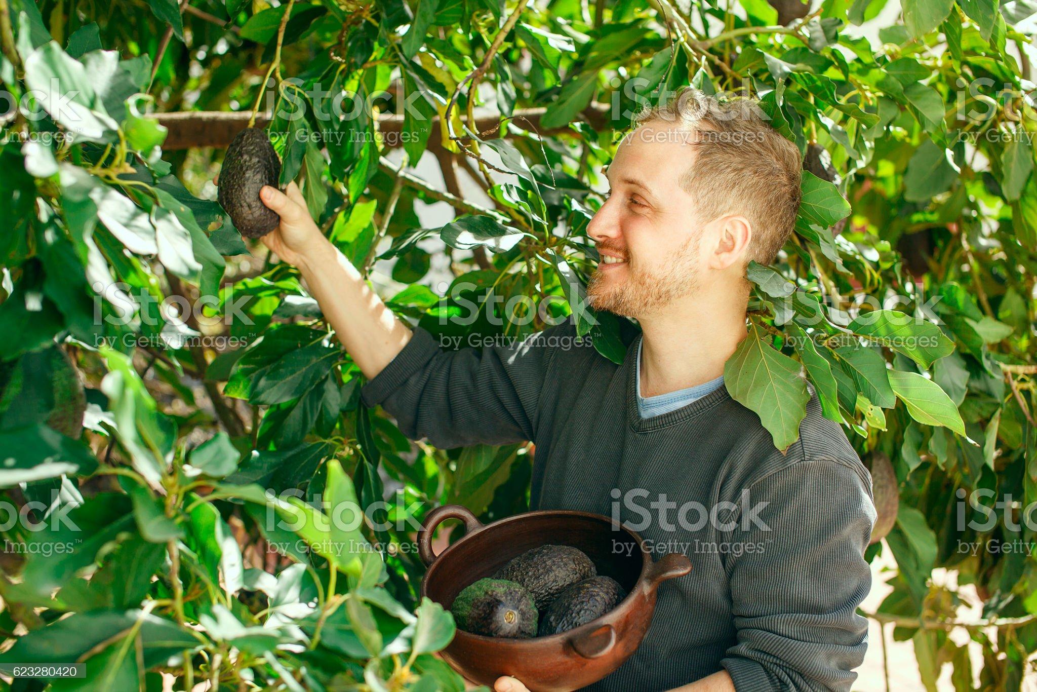 Man getting the crop of avocado - Foto de stock de Aguacate libre de derechos