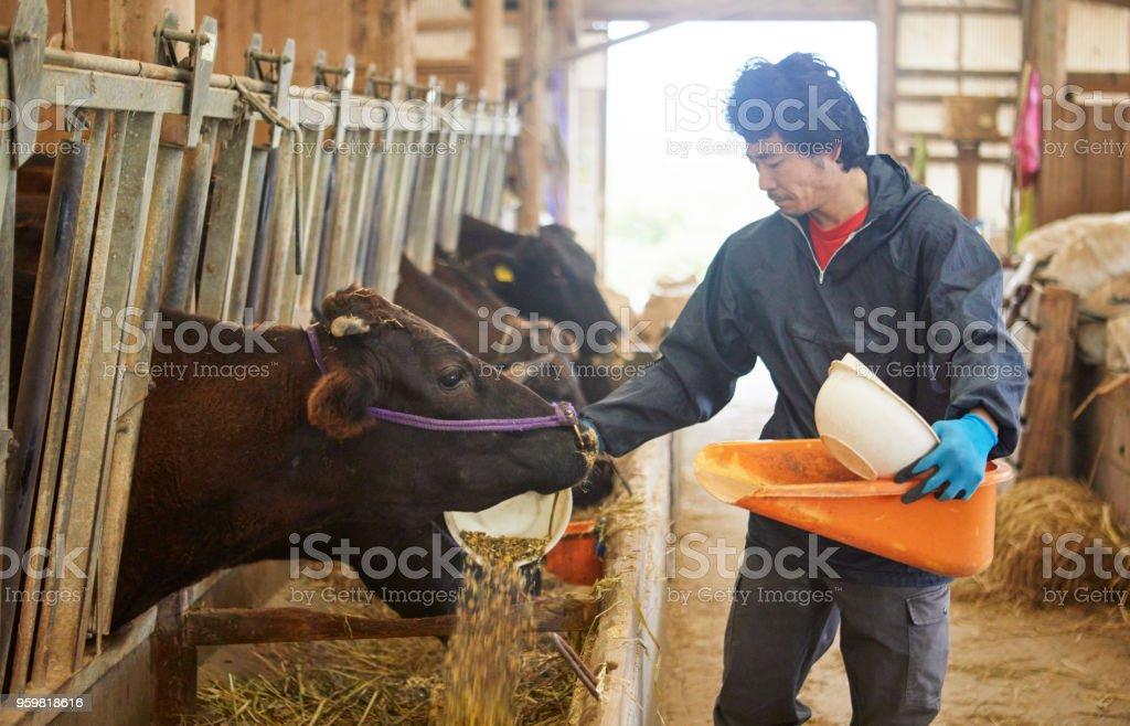 牛に食べ物を与えて男。 ストックフォト
