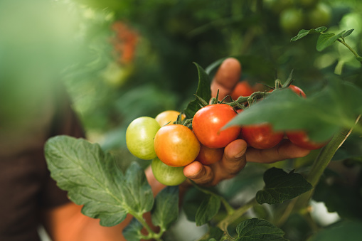 A man working in a greenhouse is inspecting the growing tomatoes.