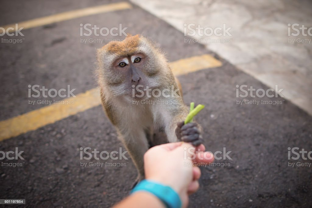 Man hand feeds a monkey. Friendship between human and animal. Funny...