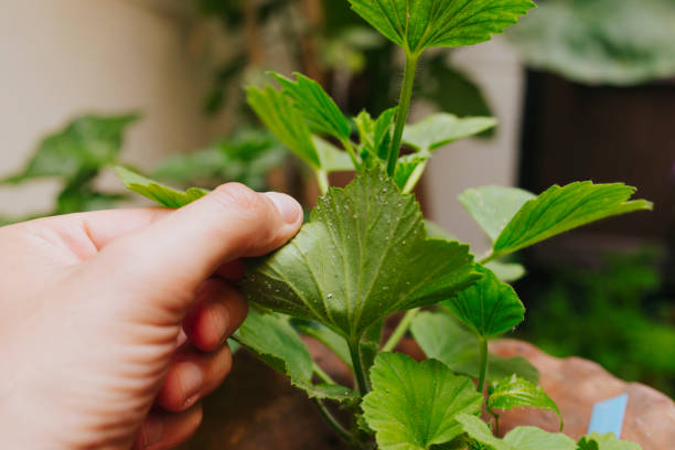 Man hand holding green plant leaf to look for white flies. White fly plague in a green plant leave, and hand holding it. aphid stock pictures, royalty-free photos & images