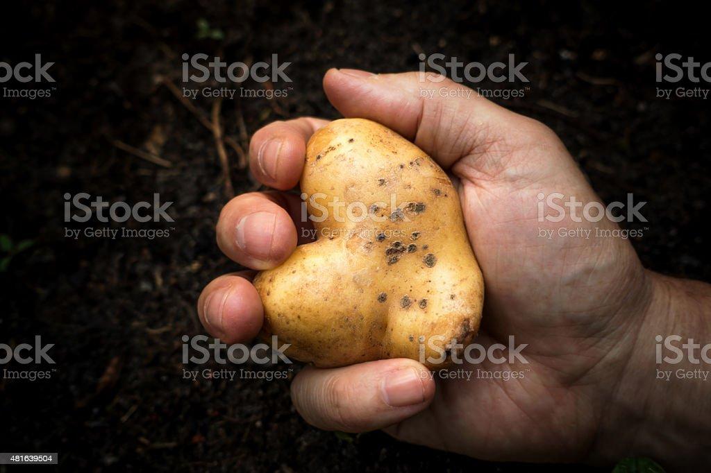 Man hand holding potatoe heart stock photo