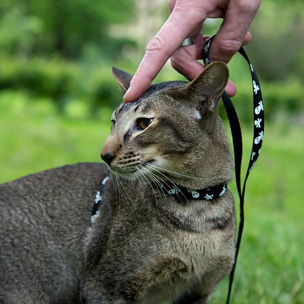 mann hand leine die katze im freien - katzengeschirr stock-fotos und bilder