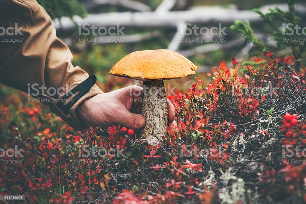 Man hand picking Mushroom orange cap boletus in forest stock photo