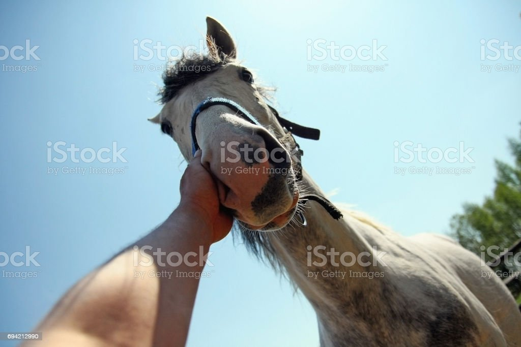 Man hand stroking horse on the nose stock photo