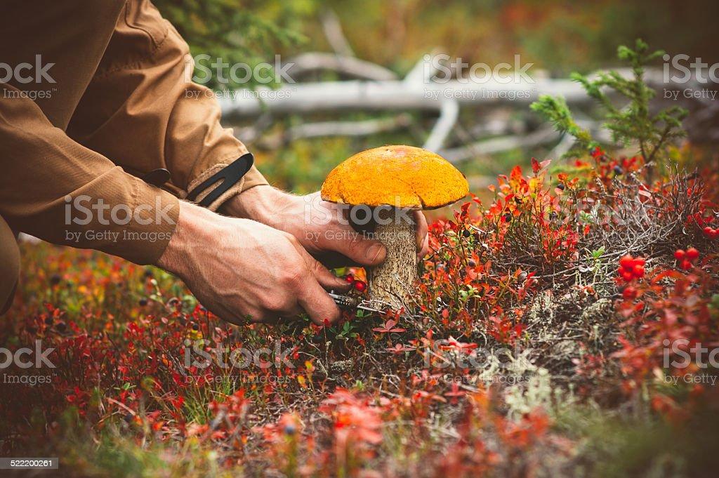 Mann Hände pflücken Pilz orangefarbene Kappe Steinpilz frische Bio-Speisen – Foto