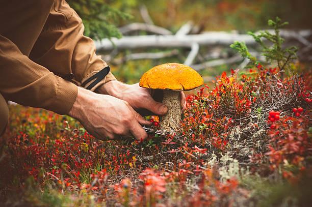 man hands picking mushroom orange cap boletus fresh organic food - höst plocka svamp bildbanksfoton och bilder