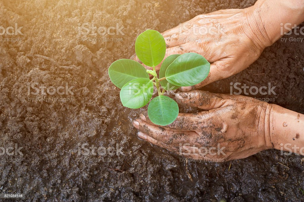 Man hands planting the young tree while working in garden stock photo