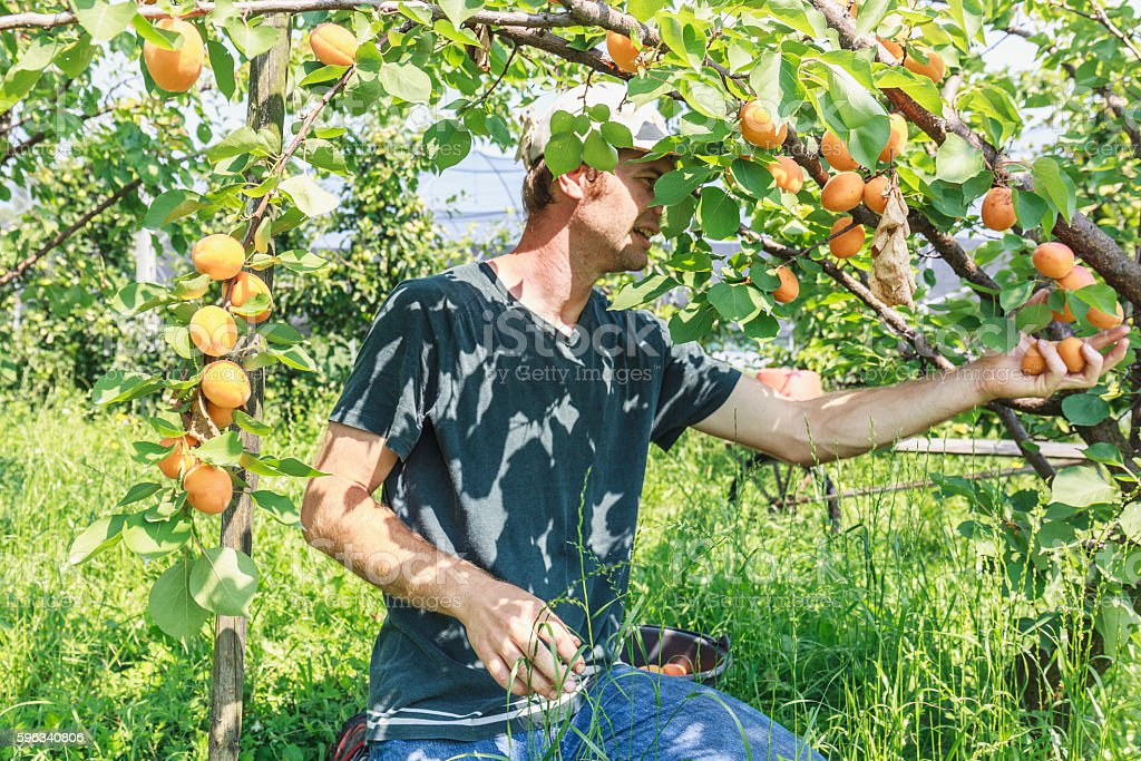 Man harvest fruit tree Lizenzfreies stock-foto