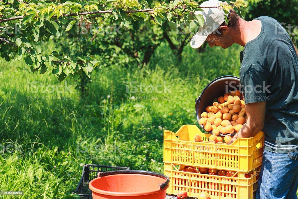 Man harvest fruit tree – Foto