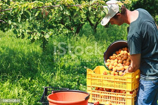 Man Harvest Fruit Tree Stock Photo & More Pictures of Adult
