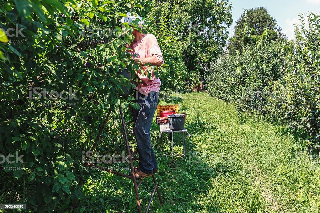 Man harvest fruit tree royalty-free stock photo
