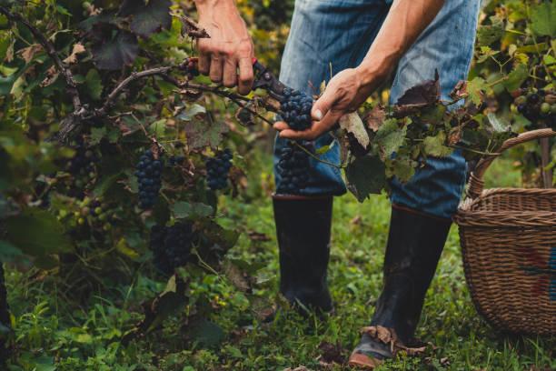 człowiek zbierający czarne winogrona - zbierać plony zdjęcia i obrazy z banku zdjęć