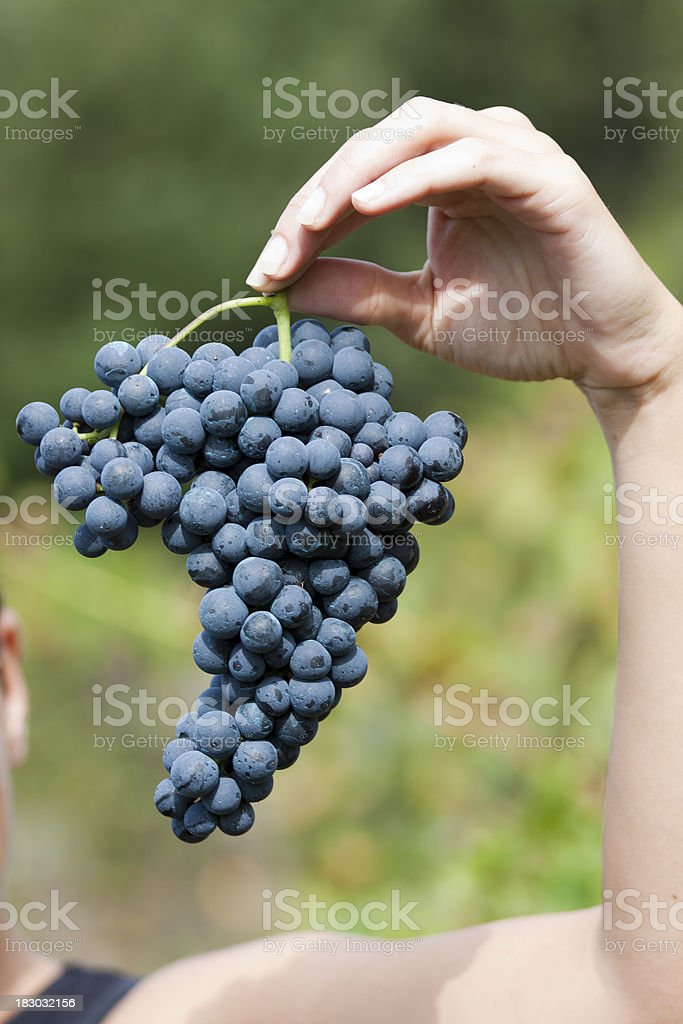 man harvesting grapes in autumn royalty-free stock photo