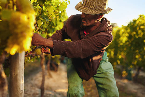 Man harvesting grapes in vineyard Farmer picking up the grapes during harvesting time. Young man harvesting grapes in vineyard. Worker cutting grapes by hands. farm worker stock pictures, royalty-free photos & images
