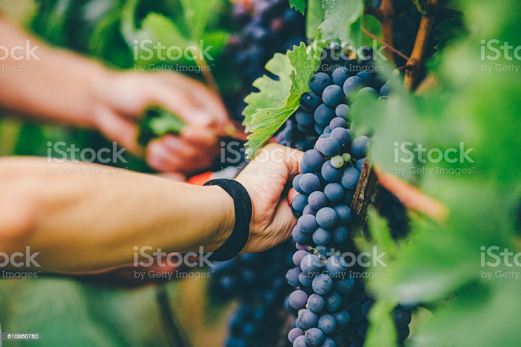 man harvesting in vineyard – Foto