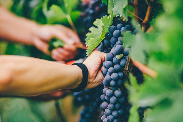 man harvesting in vineyard – Foto