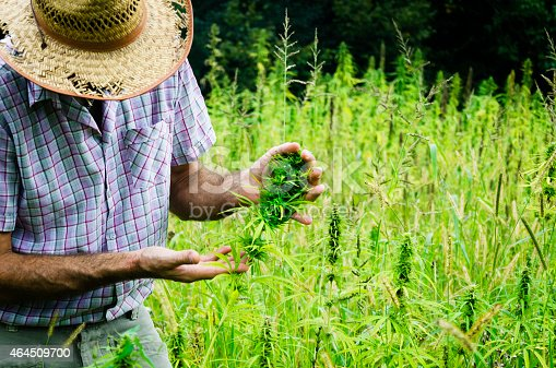 Man Harvesting Medical Marijuana Stock Photo & More Pictures of 2015