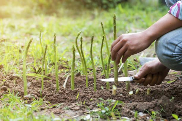 Mann, Ernte von frischen Grünspargel in Hof – Foto