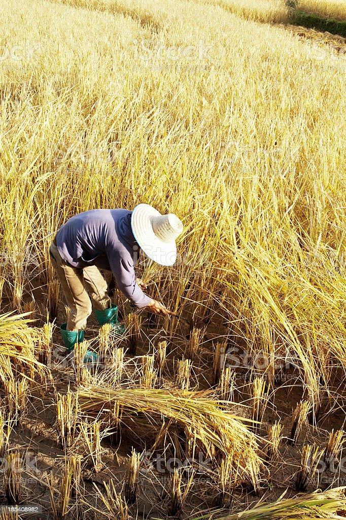 Man Harvesting Rice stock photo