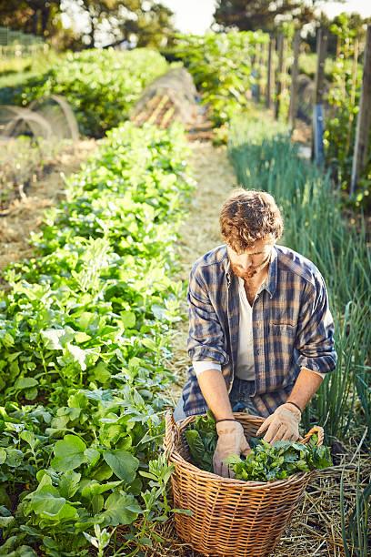 Man harvesting vegetables in organic farm - foto de stock