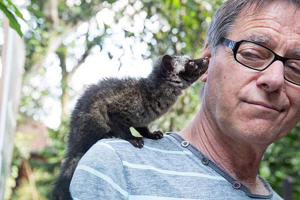 hombre ha asiática civeta de los palmares en hombro en bali - - gato civeta fotografías e imágenes de stock