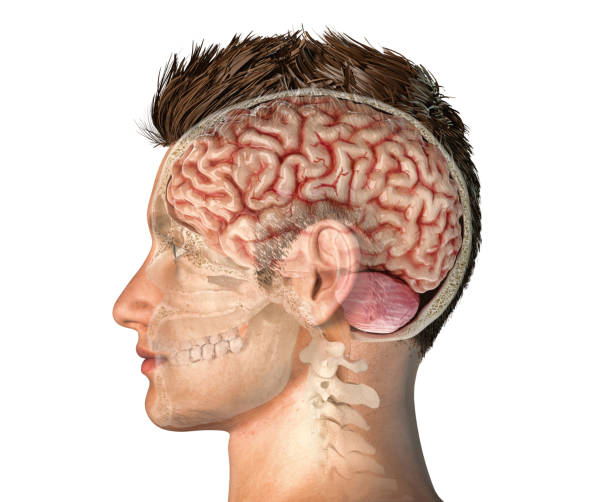 Man head with skull cross section with whole brain. Man head with skull cross section with whole brain. Side view on white background. corpus callosum stock pictures, royalty-free photos & images