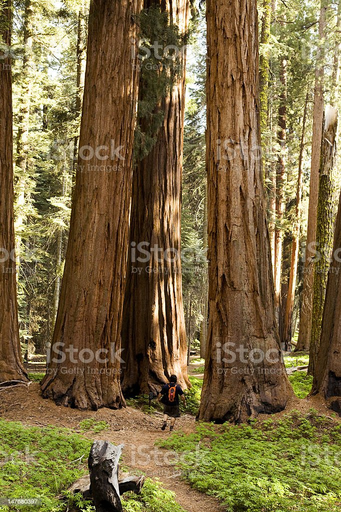 Man Hiking on Trail Next to Redwood Grove stock photo