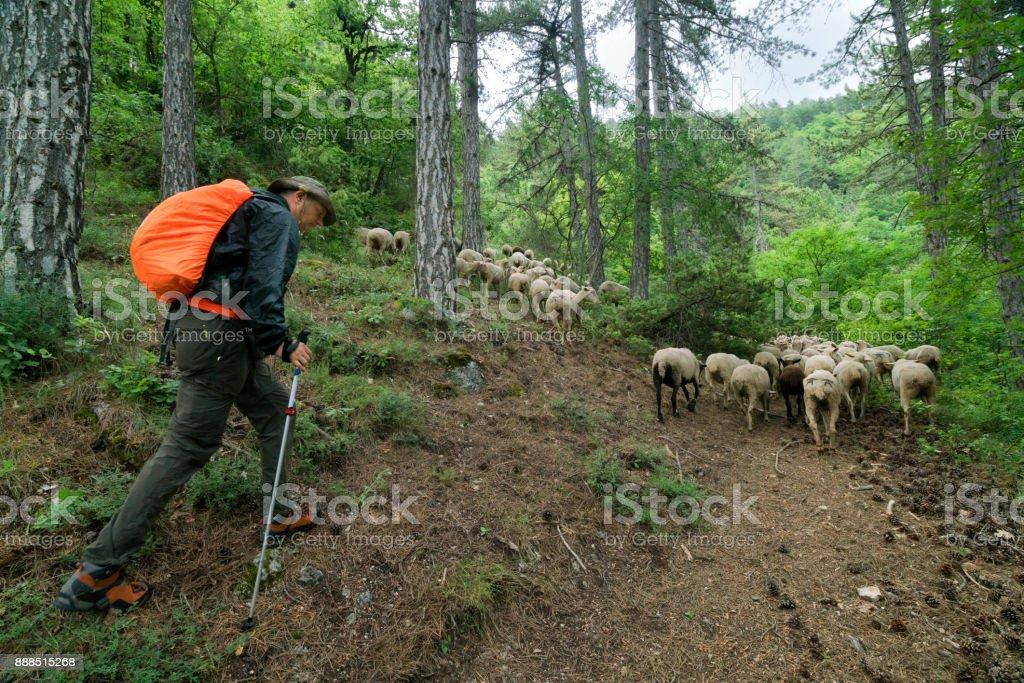 Hombre de senderismo con ovejas en transumanza - foto de stock