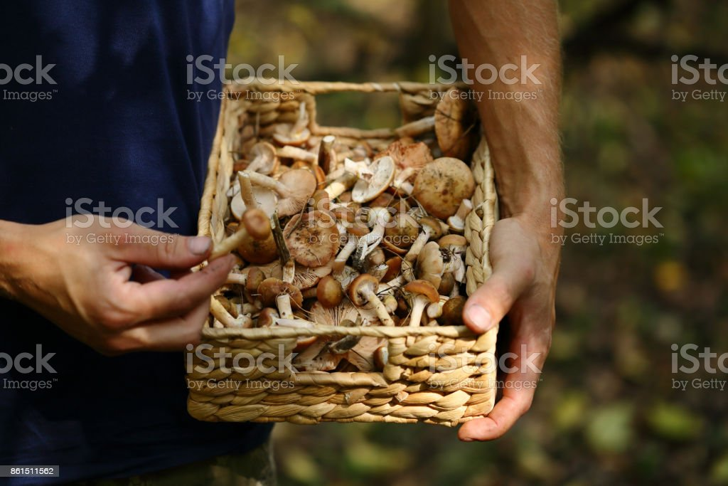 Man hold basket with forest mushrooms, food closeup stock photo