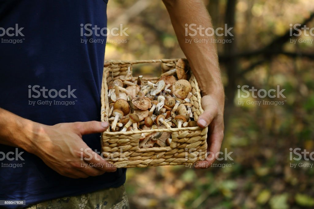 Man hold basket with honey agaric mushrooms, food closeup stock photo
