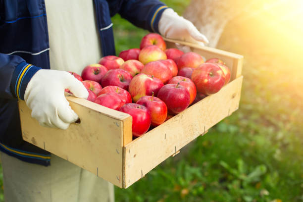 Man hold big box with beautiful clean apple in garden picture id875842176?b=1&k=6&m=875842176&s=612x612&w=0&h=wjhqmhvdyho2jd4wye9nfnqo3qumw hivz2o3nml9wi=