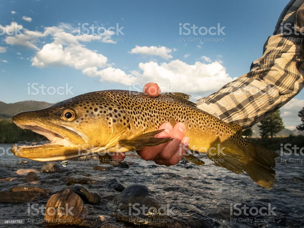 Man Holding a Brown Trout Before Releasing It. stock photo