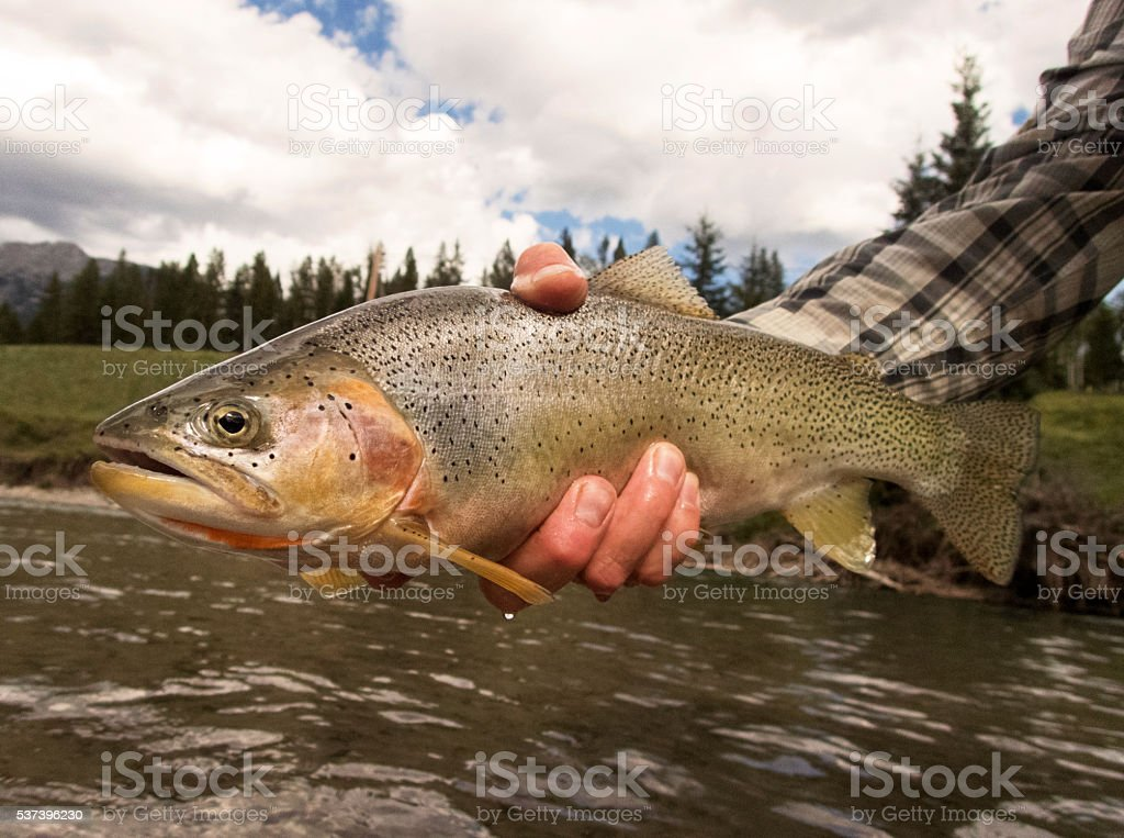 Man Holding a Cutthroat Trout stock photo