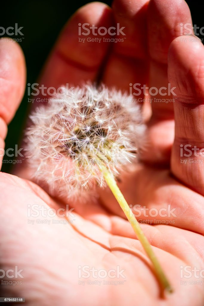 man holding a dandelion in his hand - outdoor activity and spring season royalty-free stock photo