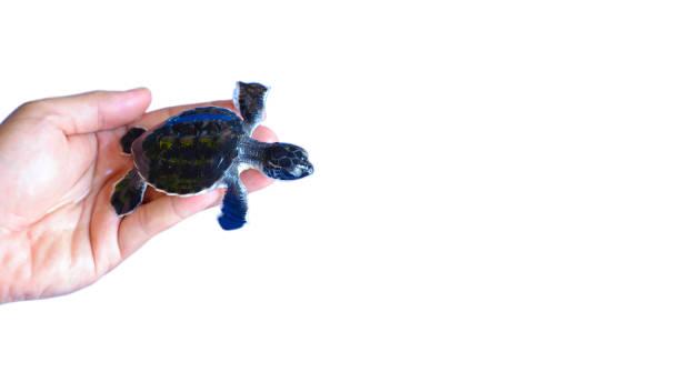 mann hält ein neugeborenes baby olive ridley meeresschildkröten isolared auf weißem hintergrund - babyschildkröten stock-fotos und bilder